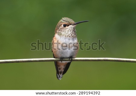 Allens Hummingbird (Selasphorus sasin) on a perch with a green background - stock photo