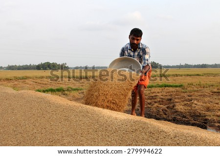 ALLEPPEY, INDIA - APR 03 : An unidentified farmer engages in the post harvest jobs in the rice fields in April 03, 2015 in the Kuttanad region in Alleppey, Kerala, India - stock photo