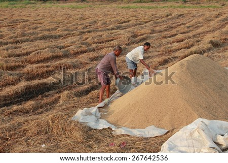 ALLEPPEY, INDIA - APR 03 : Unidentified farmers do the post harvest jobs in their rice fields in April 03, 2015 in the Kuttanad region in Alleppey, Kerala, India. - stock photo