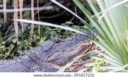 Alligator (Alligator mississippiensis) Resting, Big Cypress National Preserve, Florida - stock photo