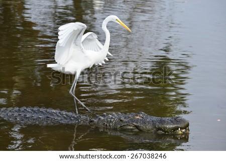 Alligator and blue heron companion - stock photo