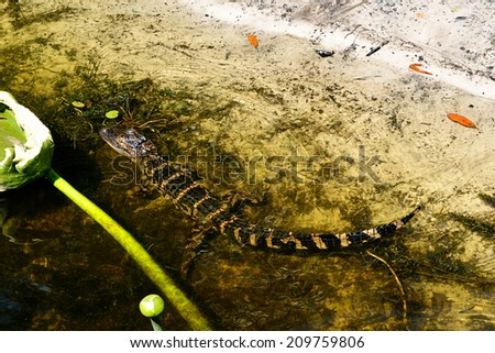 Alligator baby in water - stock photo