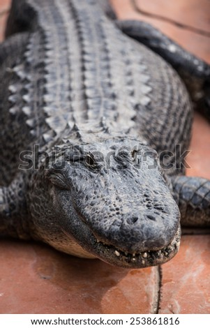 Alligator closeup - stock photo