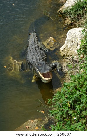 Alligator cooling off - stock photo