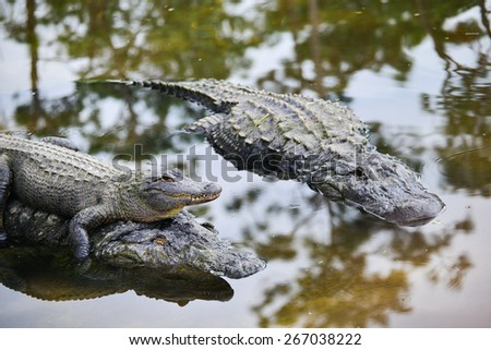 Alligator family with mother carrying her child and father alligator - stock photo