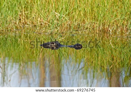 Alligator in an Everglades lake, Big Cypress National Preserve - stock photo