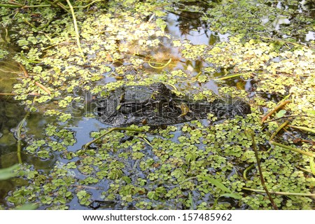 Alligator in the swamp of New Orleans - stock photo