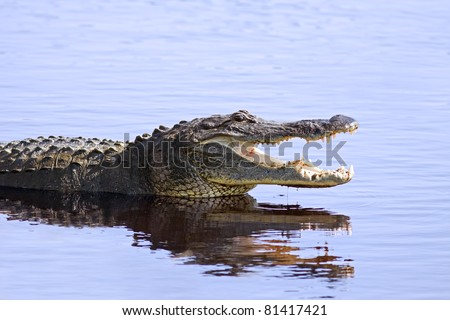 Alligator in the wild at Upper Myakka Lake,Sarasota,Florida. - stock photo