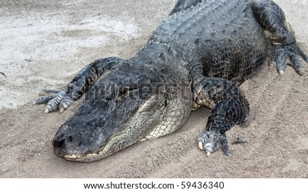 Alligator laying on the ground - stock photo