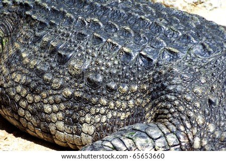 Alligator scales seen from above - stock photo