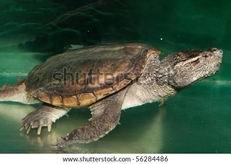 Alligator Snapping Turtle (Macrochelys temminckii) - stock photo