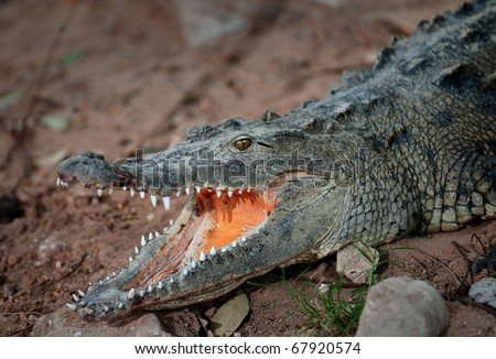 Alligator waiting for food. - stock photo