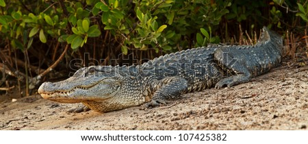 Alligator warms up on the shore in Ding Darling Reserve, Florida