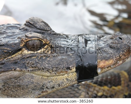 Alligator with mouth taped shut - stock photo