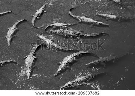 Alligators - stock photo