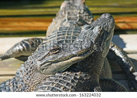 Alligators laying one on another - stock photo