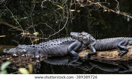 Alligators Resting, Big Cypress, Florida - stock photo