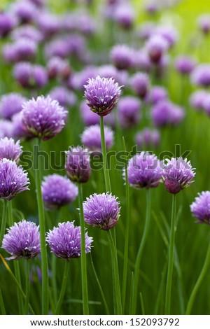 Allium flower bloom - stock photo