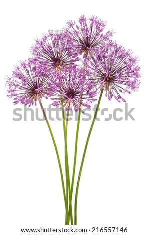 Allium flowers isolated on white background - stock photo