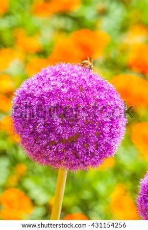 Allium giganteum Regel , Purple flowers - stock photo