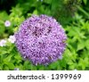 Allium with bees on it at Bellevue Botanical Gardens - stock photo