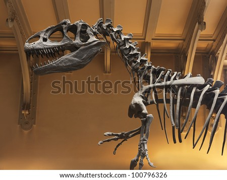 allosaurus fragilis skeleton - stock photo