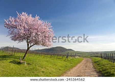 Almond Blossom in the southern Palatinate, Germany