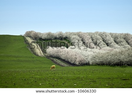 Almond blossoms in California. - stock photo