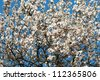 almond buds and flowers, blue sky background - stock photo