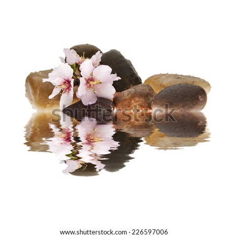 almond flower isolated white background