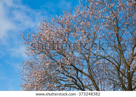 Almond flowers against the blue sky. Blooming tree at spring, fresh pink flowers on the branch of fruit tree. - stock photo