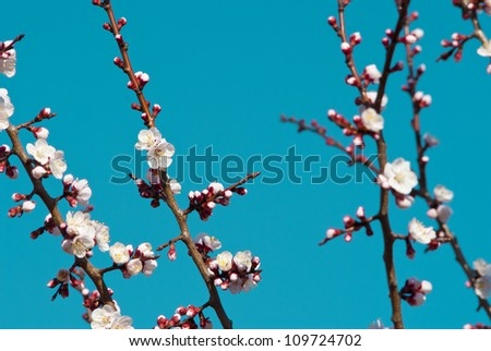 almond flowers blooming at springtime - stock photo