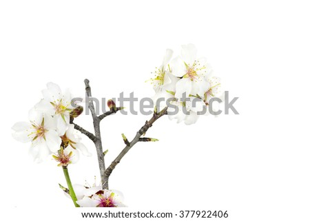 Almond flowers over a white background.