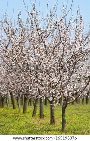 almond orchard blooming at springtime