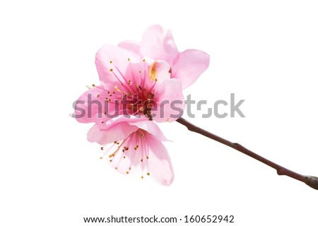 Almond pink flowers isolated on white. Macro shot - stock photo