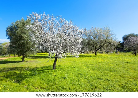 Almond tree at spring, fresh pink flowers on the branch of fruit tree - stock photo