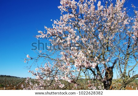 almond tree blooming in field, south of Portugal