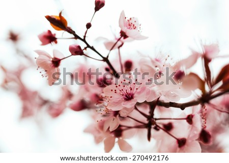 almond tree  branch in spring blooms - stock photo