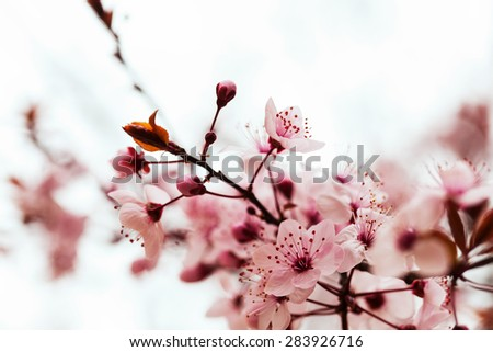 almond tree branch with pink flowers  - stock photo