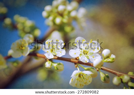 Almond tree branch with white flowers against blue sky - stock photo