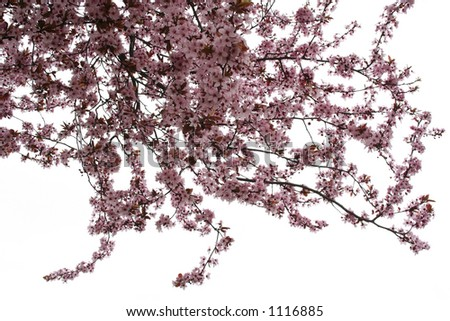 Almond tree isolated