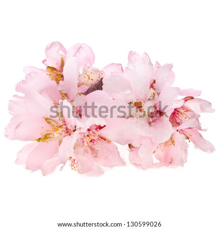almond tree pink flowers snowy close-up isolated on white background. - stock photo