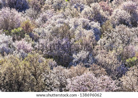 Almond trees in full blossom in the Ounila Valley, Morocco. - stock photo