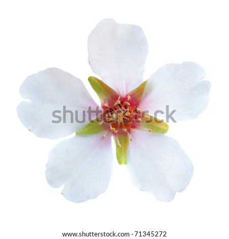 Almond white flowers isolated on white background - stock photo