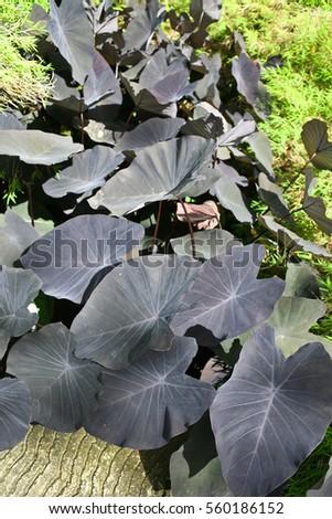 stock-photo-alocasia-plant-with-dark-purple-leaves-560186152 Chamomile Houseplant on