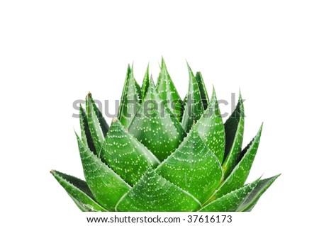 Aloe  isolated on white background - stock photo