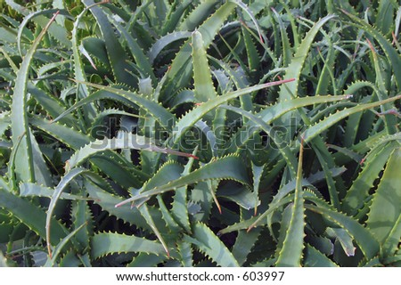 Aloe plant leaves intertwined, suitable for background or wallpaper. - stock photo