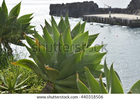 Aloe succulent plant growing wild on cliffside at Camara de Lobos, Madeira, Portugal