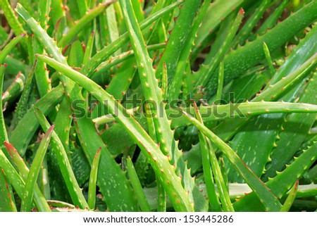 Aloe vera leaves' bush - stock photo