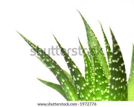 aloe vera leaves, detailed on white background - stock photo